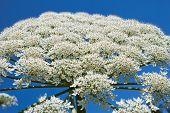 Giant Hogweed flowering