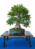 Old Foliage Tree Corean Hornbeam As Bonsai