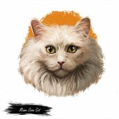 Maine Coon Cat The Largest Domesticated Cat Breed Isolated On White Background. Digital Art Illustra poster