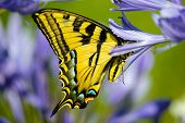 Yellow Swallowtail Tiger butterfly