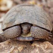 Shy land turtle