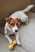 Purebred Jack Russell Terrier Dog Lying At Home On The Couch With Toy. Happy Dog Is Resting In Livin poster