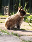 Netherlands Dwarf Rabbit