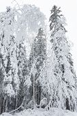 Winter Forest Snowy Taiga Hills Beautiful Beautiful Nature Of Russia. Taiga Forest In Winter. Frosty poster