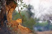 The African Leopard (panthera Pardus Pardus) Big Male In His Territory In The Last Evening Light. Bi poster