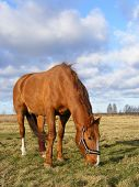 Chestnut horse with injured leg eating grass at the pasture