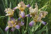 Variegated Sweet Iris (iris Variegata). Called Hungarian Iris Also. poster