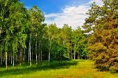 stock photo of birchwood  - Birchwood and pine on a sunny morning on the against the blue spring sky - JPG