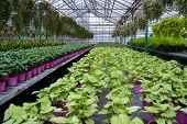 Growing And Selling Plants In A Greenhouse: Pink Flower Pots With Coffee Plants On The Left,  Small  poster