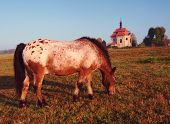 Side Shot Of A Cute Pony With Black And Brown Spots. Old Chapel In Backgrround poster