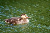 Duckling Floating