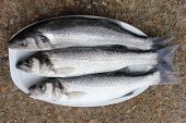 stock photo of fighter-fish  - freshly rod caught sea bass - JPG