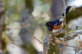 Spotted Towhee Perched On Oak Branch, Poised To Fly, Shows Its Black And White Spotted Plumage And R poster