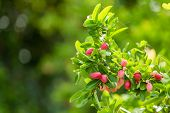Cluster Of Bengal Currants Or Christs Thorn On Tree poster