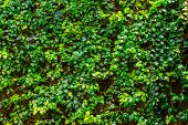 Creeping Fig Plant Growing On A Wall, Tropical Climbing Plant Specie, Vines With Many Green Leaves,  poster