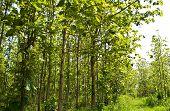 Teak Wood Forest