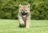 Shiba Inu cachorro correr