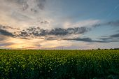 Field Sown With Rapeseed. Field Of Flowering Rapeseed. Sunset Over The Field. poster