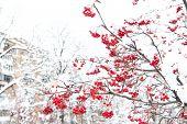 Winter Nature Concept. Frozen Food. Seasonal Berries. Christmas Rowan Berry Branch. Hawthorn Berries poster