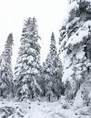 Winter Forest Snowy Taiga. Tops Of Conifers. Beautiful Nature Of Russian Siberia. Taiga Forest In Wi poster