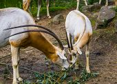 Two Scimitar Oryxes Eating Leaves Together, Antelope Diet, Animal Specie That Is Extinct In The Wild poster
