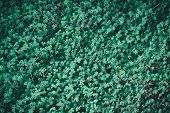 Green Leaves Of Medicago Arabica, Spotted Medick, Spotted Burclover, Heart Clover, Top-down View Of  poster