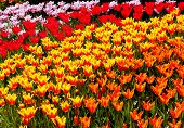 Red Yellow Orange Tulips Flowers Skagit Valley Washington State