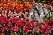 Colorful Tulips Flowers Wood Skagit Valley Washington State