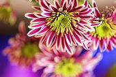 Chrysanthemum Striped Lilac Flower Macro On A Blurred Lilac Background. Floral Background. Spring De poster