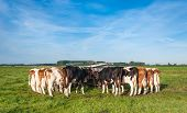 Dutch Cows Still Tied After Milking