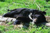 Asiatic Black Bear (ursus Thibetanus) poster