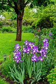 German or bearded iris growing in a peaceful back yard garden. poster