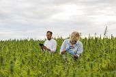 Two People Observing Cbd Hemp Plants On Marijuana Field With Magnifying Glass, And Taking Notes In T poster