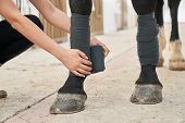 Close Up Of Dark Colored Horses Legs That Bandaging Female Rider At Stable Before Taking Equestrian  poster