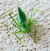 a katydid grasshopper