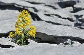 stock photo of goldenrod  - Goldenrod - Solidago virgaurea Growing in Limestone Pavement on The Burren Ireland - JPG
