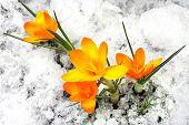 Gelbe Krokus Blüten im Schnee
