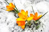 Yellow Crocus Flowers In The Snow