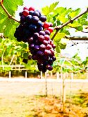 Bunch Of Red Grapes  With Green Leaves In Wine Yard In Nakorn Ratchasima, Thailand