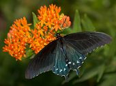 Dorsal view of a Green Swallowtail butterfly on orange Butterflyweed