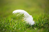 Pluma blanca tumbado en la hierba