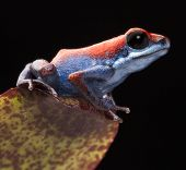 Poison dart frog, Oophaga pumilio from the little island Escudo in the Bocas Del Toro achipelago, Pa