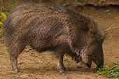 Peccary or Central and South American Pig