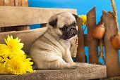 stock photo of pug  - pug puppy and spring  flowers - JPG