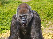 Un pie de gorila hembra occidental hacia delante