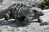 Mayan Iguana Walking