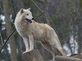 picture of white wolf  - White polar arctic wolf in a zoo - JPG