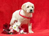 Yellow Labrador Puppy With Flowers