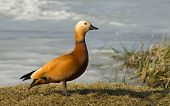 Ruddy Shelduck on a grass