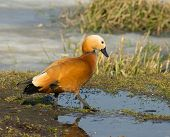 Ruddy Shelduck on a background of grass and lake ice